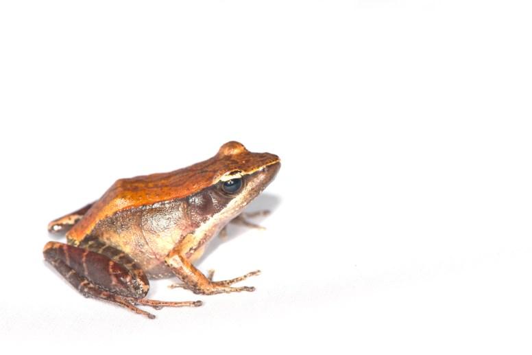 Mantidactylus sp. nov.
