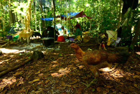 Chickens in camp at 750 m