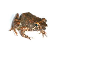 Mantidactylus cf. biporus