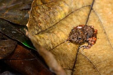 Gephyromantis (Laurentomantis) horridus