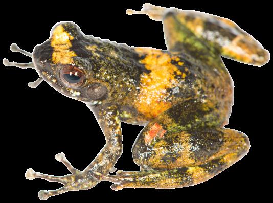 Mantidactylus (Hylobatrachus) petakorona