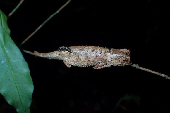 Brookesia antakarana/ambreensis with a leech
