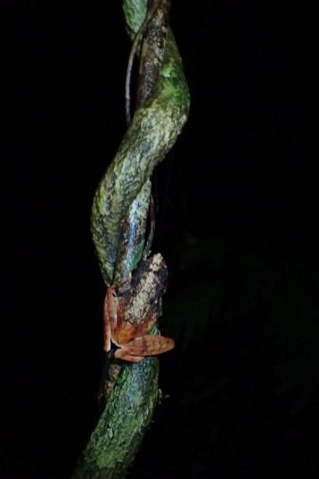 Gephyromantis (Asperomantis) ambohitra
