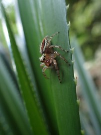 A large jumping spider (Salticidae)
