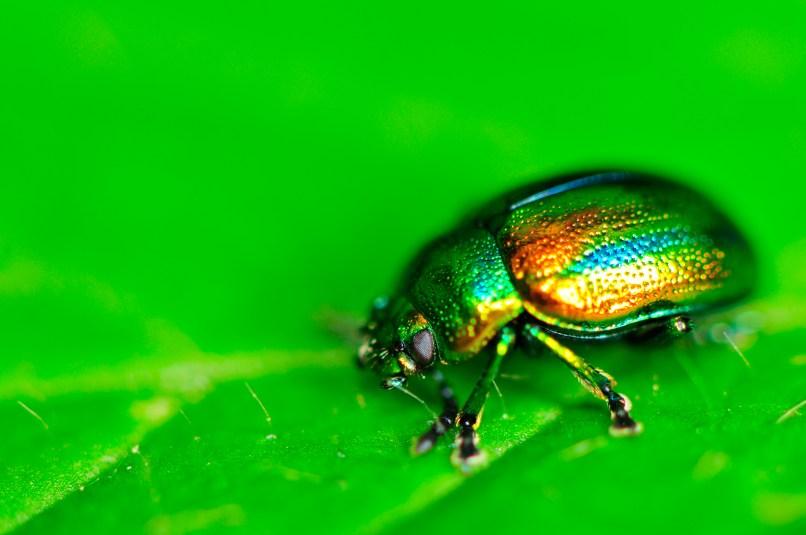 Unidentified leaf beetle super macro