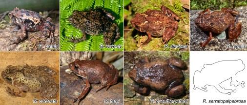 The full R. serratopalpebrosa species group