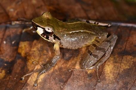 Gephyomantis (Duboimantis) tohatra, photo by Miguel Vences