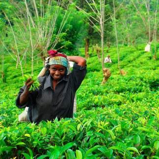 Te fra Sri Lanka