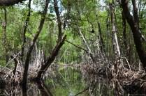 Fahrt durch die Mangroven in den Everglades