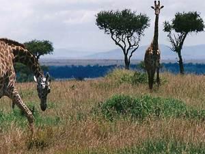 Giraffe between trees in Maasai Mara