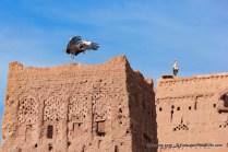 Cegonhas no topo de um casbá em Ouarzazate em Marrocos