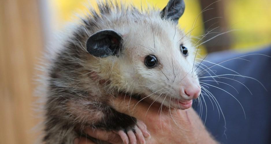 holding rat