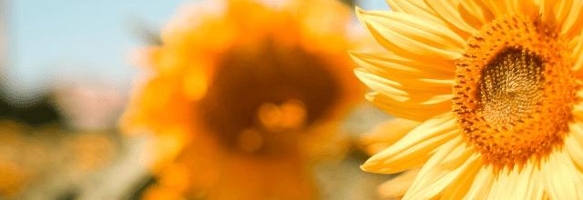 słonecznik kwiatek wakacje lato piękna pogoda słońce