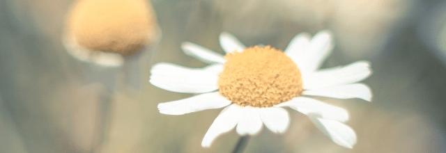 stokrotka kwiatek piękny