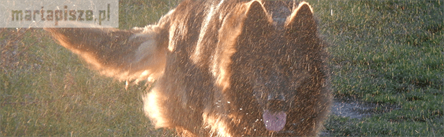 owczarek wilczur niemiecki długowłosy
