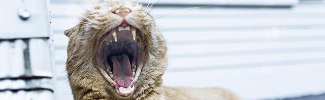 koci nos kot kotek kicia kocur zdjęcia kota kotów śmiesznych piękne koty ziewający kot zęby kota