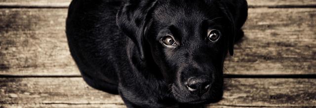 czarny pies brązowe oczy lablador