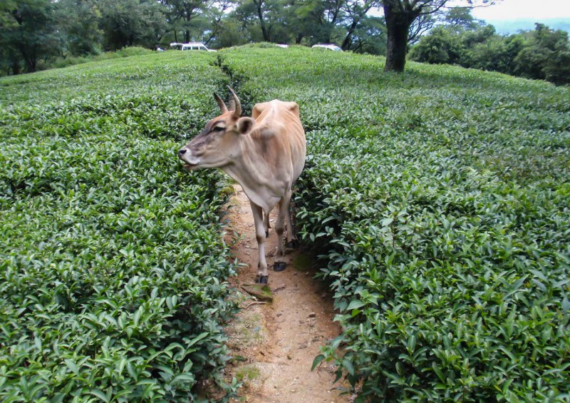 Indie, Himáčal, Pradéš, Dharamsala, McLeod Ganj, kráva, čaj, plantáž [Mart Eslem]