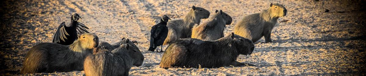 Kapybary všude, kam se v Hato El Cedral podíváš (Mart Eslem)