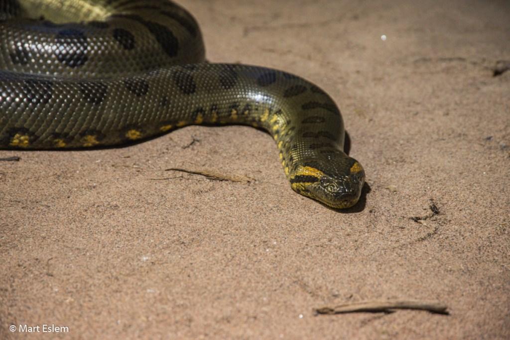 Živá anakonda v mořském akváriu v Bergenu (Mart Eslem)
