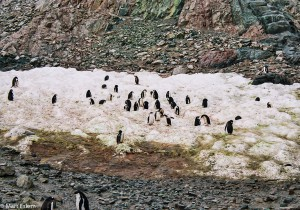 Kolonie tučňáků oslích (Mart Eslem)