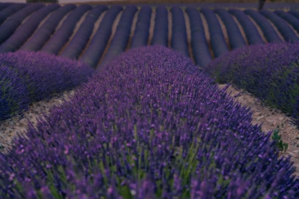 Beautiful sunset over the lavender fields in the provence