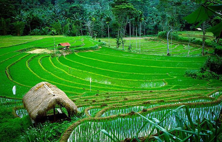 © Martina Miethig, Sri Lanka, Reisfelder bei Kandy