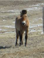 A wild Przewalski Horse on the Mongolia Steppe