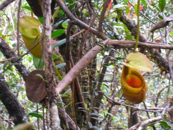 Amazing pitcher plants seen around the 4.5km marker climbing Mt Kinabalu