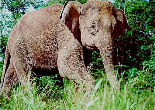 Borneo pygmy elephant*