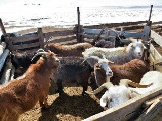 Goats waiting to be combed for their cashmere