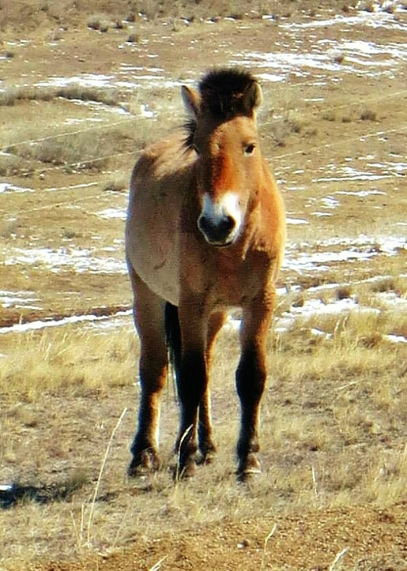 A wild Przewalkski Horse, roaming free at Hustai National Park, Mongolia.