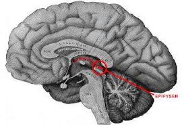 epifys tallkottkörtel melatonin fluor