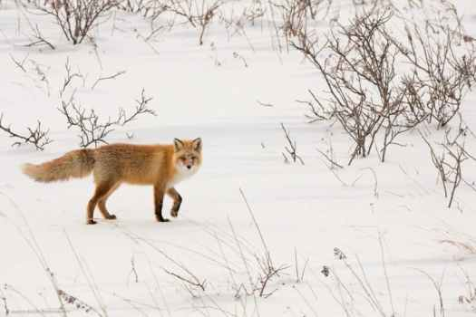 Snowy Faced Northern Red Fox