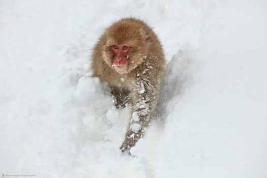 Snow Monkey Running Down Hill