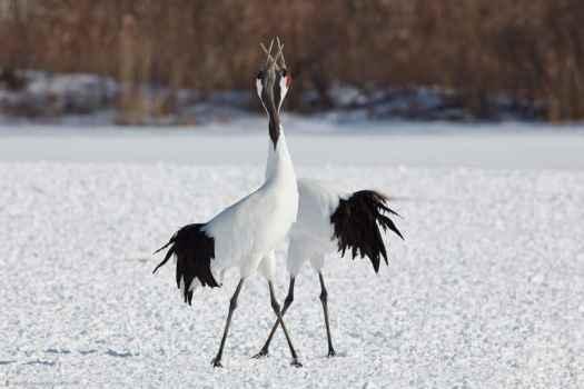 Crossing Cranes