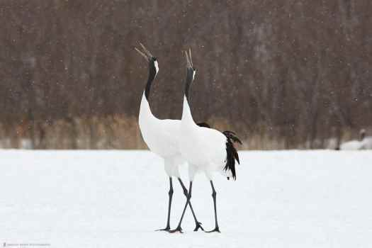 Cranes Singing in Snow