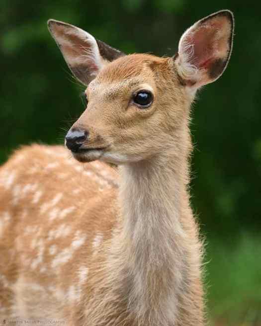 Ezo Deer Fawn
