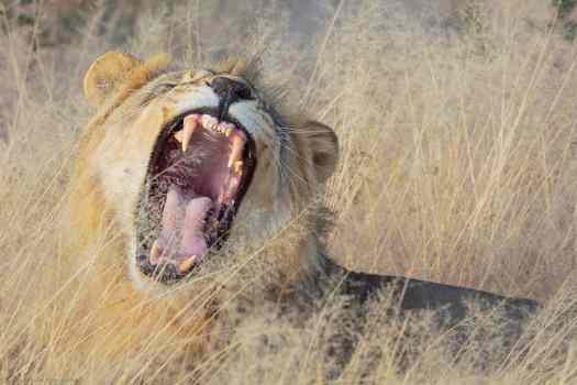 Fierce Yawn