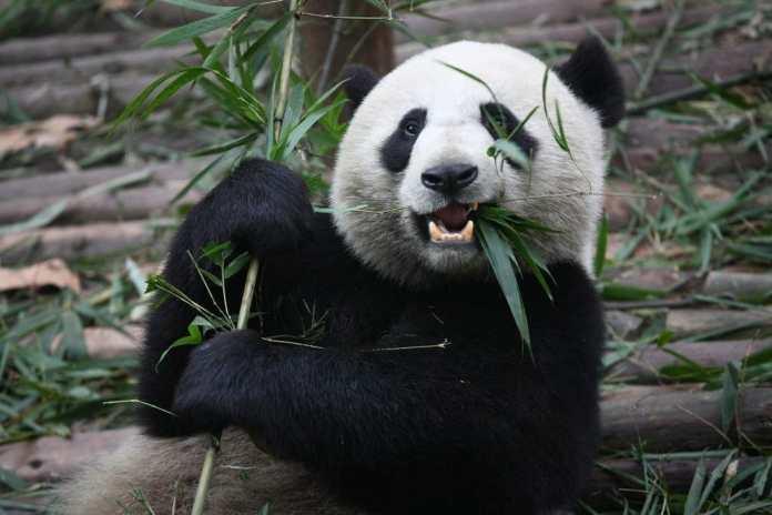 Panda gigante. Fuente: flickr. Autor: Chen Wu