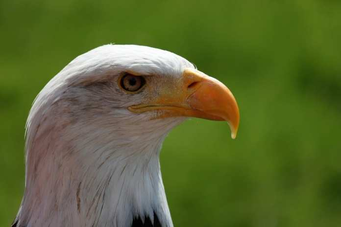 bald-eagle-portrait-white-tailed-eagle-adler-38998
