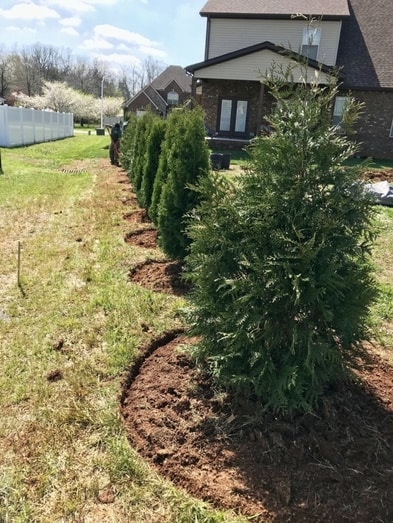 Row of hedge trees being planted - Landscape Design - Martin's Home & Garden - Murfreesboro, TN