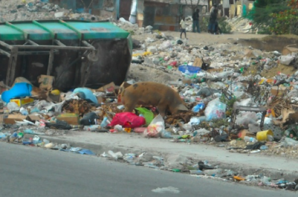 A hog eats in Port-au-Prince Haiti