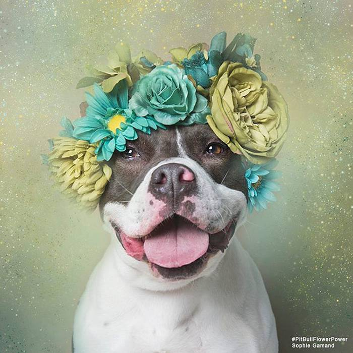 pit-bull-adoption-flower-power-sophie-gamand-40__700