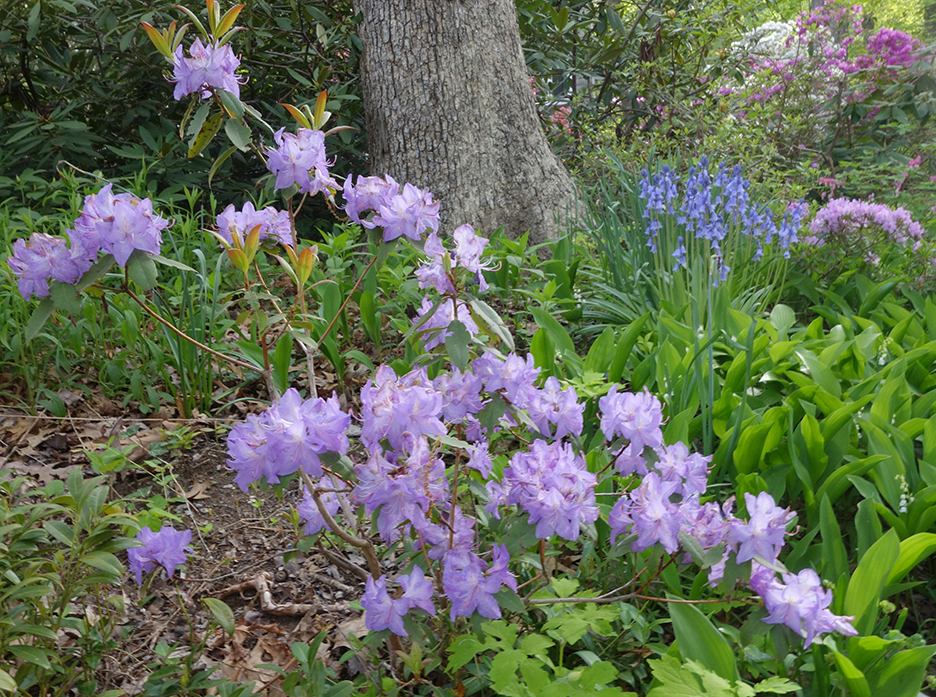 My Garden with rhododendrons and hyacinths
