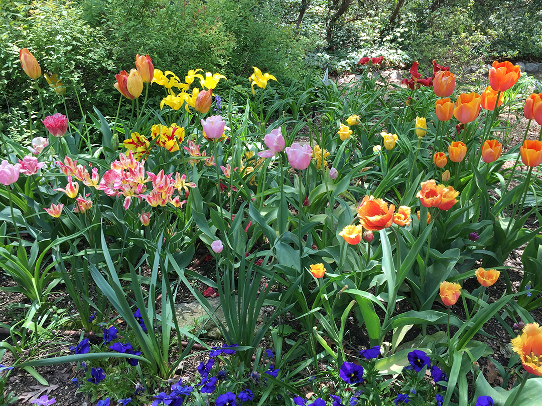 Tulips in a May Garden. Mary Ahern the Aritst