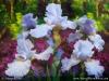 Light Blue Iris in the Garden - Mixed Media Painting - Mary Ahern
