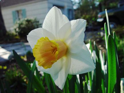 Entry Garden Daffodils