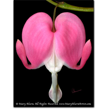 """Bleeding Heart"" - Designer Print - 8x10 or 11x14"