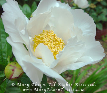 The Krinkled White is a single peony prized for its simplicity